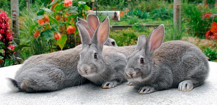 Fotos de conejos de razas 55